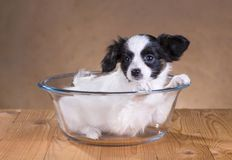 Papillon puppy Stock Image