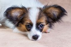 Papillon puppy Stock Images