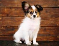 Papillon puppy portrait Stock Photos