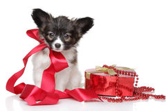 Papillon puppy with red ribbon Stock Photo
