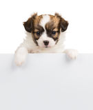Papillon puppy relies on blank banner. Papillon puppy. 1 month old, relies on blank banner. White background Royalty Free Stock Images