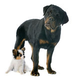 Papillon puppy and rottweiler Stock Photography