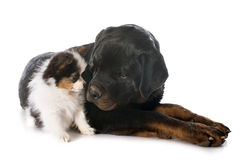 Papillon puppy and rottweiler Stock Photos