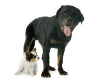 Papillon puppy and rottweiler Stock Image