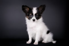 Papillon puppy. Sitting on a black background Stock Photos