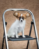 Papillon puppy sitting on a stepladder Royalty Free Stock Images