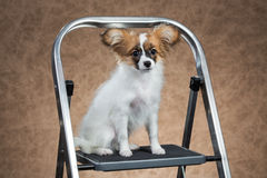 Papillon puppy sitting on a stepladder Stock Photography