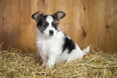 Papillon puppy sitting on a straw Royalty Free Stock Images