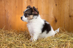 Papillon puppy sitting on a straw Royalty Free Stock Image