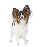 Papillon puppy standing in front view. isolated on white backgro Stock Photos