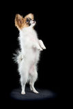 Papillon puppy standing on hind legs Royalty Free Stock Photography