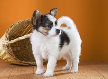 Papillon Puppy Royalty Free Stock Photos