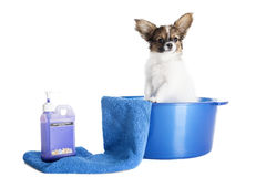 Papillon puppy in a towel Stock Images