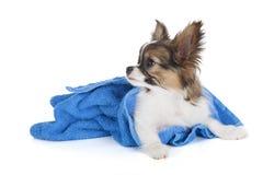 Papillon puppy in a towel Stock Photos