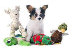 Papillon puppy and toys. Papillon puppy in front of white background stock images