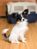 Papillon puppy and travel plastic carrier for pet Royalty Free Stock Photography