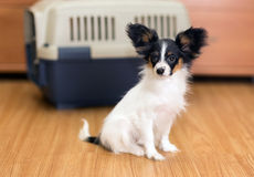 Papillon puppy and travel plastic carrier for pet Stock Images