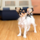 Papillon puppy and travel plastic carrier for pet Royalty Free Stock Images