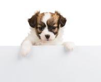 Papillon puppy on white background Stock Photos
