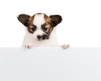 Papillon puppy on white background Royalty Free Stock Photos