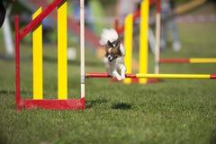 Papillon que salta na competição da agilidade Foto de Stock