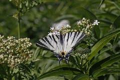 Papillon rare de machaon en été Photographie stock libre de droits