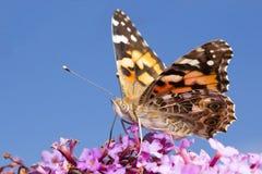 Papillon rassemblant le nectar image stock