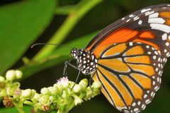 Papillon rayé de tigre, genutia de Danaus, colonie de lait d'Aarey Photos stock