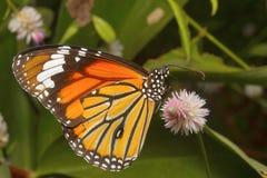 Papillon rayé de tigre, genutia de Danaus, INDE de colonie de lait d'Aarey Photos stock