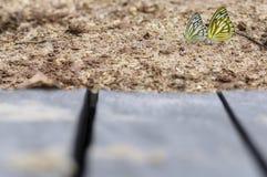 Papillon recueillant l'eau sur le plancher Images libres de droits