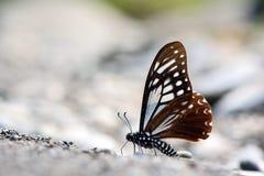 Papillon repéré dans l'eau dans l'eau photo stock