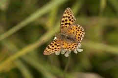 Papillon repéré de fritillaire images stock