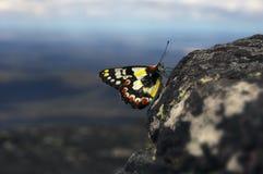 Papillon repéré de Jézabel sur le sommet rocheux Image stock