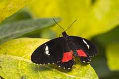 Papillon rose de Cattleheart Images stock