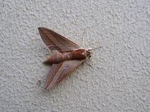 papillon rouge de mite photo stock