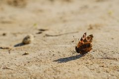 Papillon rouge de paon commun d'Européen, Aglais E/S, Inachis E/S au sol, diffusion d'ailes ouverte Images libres de droits