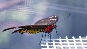 Papillon rouge et jaune avec des ailes de Brown dans une volière d'élevage photographie stock libre de droits