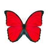 Papillon rouge exotique d'isolement sur le fond blanc, le papillon bleu de morpho images libres de droits