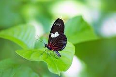 Papillon rouge Heliconius Erato Notabilis de facteur Photographie stock libre de droits
