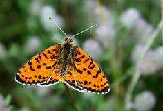 Papillon rouge lumineux sur un pré papillons Brosse-aux pieds Fin vers le haut Image libre de droits