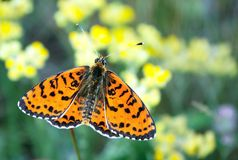 Papillon rouge lumineux sur un pré papillons Brosse-aux pieds Fin vers le haut Photographie stock libre de droits