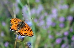 Papillon rouge lumineux sur un pré papillons Brosse-aux pieds Fin vers le haut Images stock