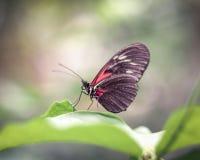 Papillon rouge posant sur la feuille avec le fond trouble Photo stock