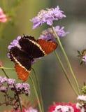 papillon Rouillé-incliné de page, epaphus de Siproeta image libre de droits