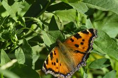 Papillon-ruches sur un fond d'herbe verte Photos stock