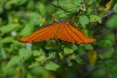 Papillon - Ruddy Daggerwing - vue de face Image libre de droits