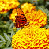 Papillon sauvage VII Photographie stock