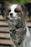 Papillon with scarf Stock Images