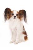 Papillon (Schmetterlingshund), lokalisiert auf Weiß Lizenzfreie Stockfotografie