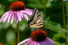 Papillon se reposant sur Coneflower Images libres de droits